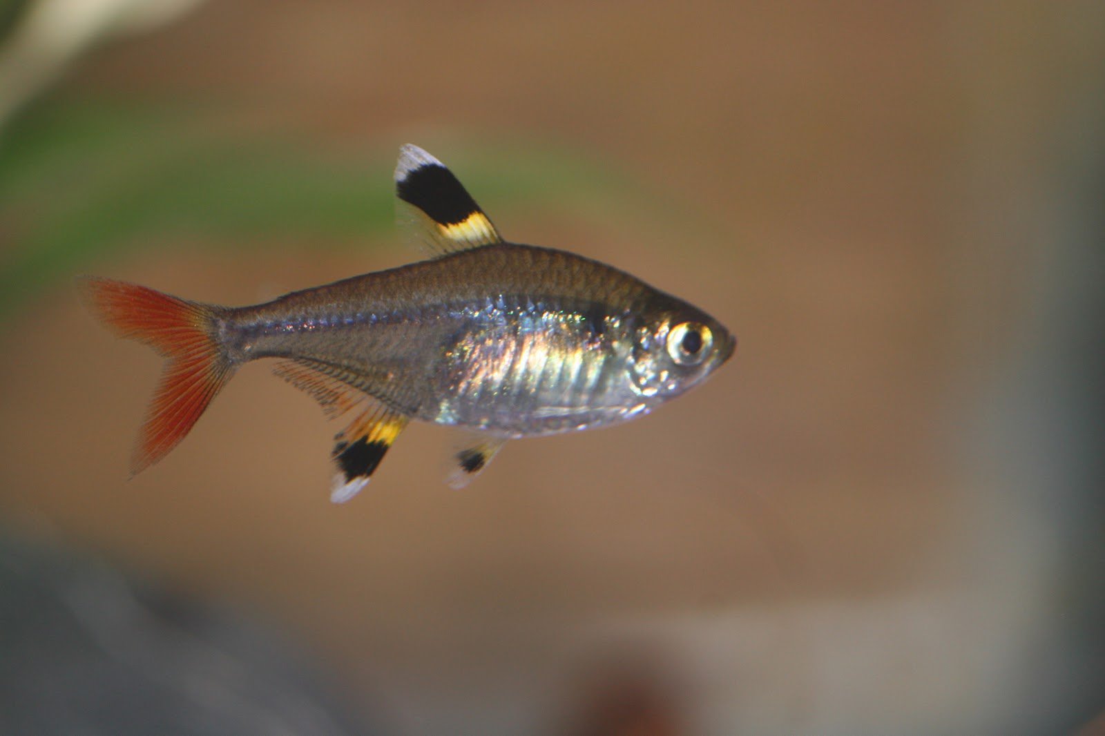 X ray tetra for Freshwater schooling fish