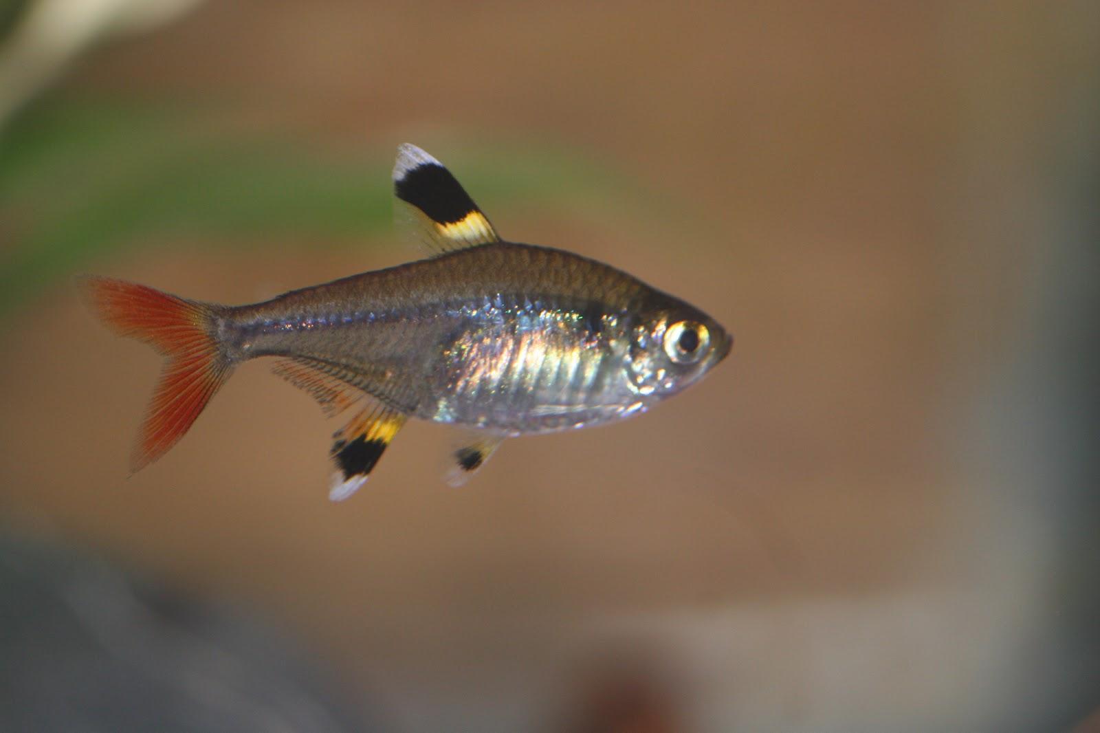Tetra fish lifespan cardinal tetra paracheirodon for All the fish