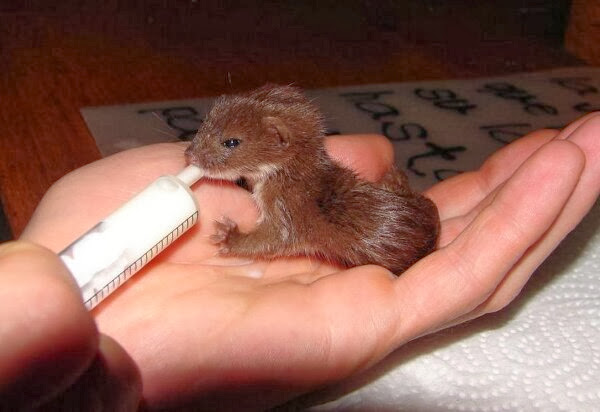 Funny animals of the week - 6 December 2013 (35 pics), baby weasel drinks milk