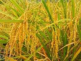 budidaya, menanam, panduan, padi