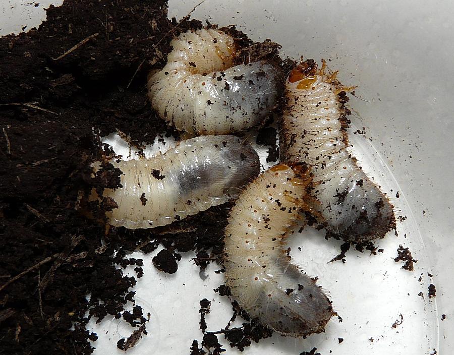 Momentaufnahmen keine rose ohne k fer for Weisse larven im blumentopf