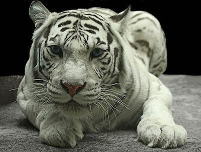 White Tiger Wallpapers 07