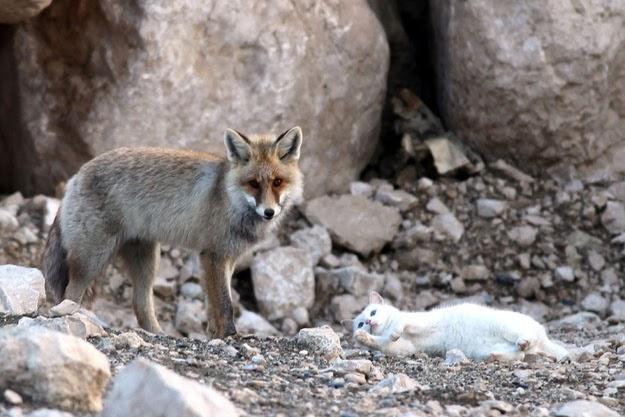 Fusa&crocchette: il gatto e la volpe