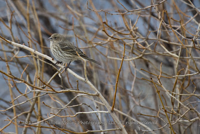Common House Finch Female Bird Photography Tips by Dakota Visions Photography LLC