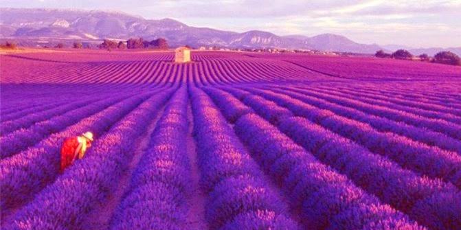 Padang lavender Provence