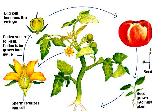 tomato plant life cycle pdf