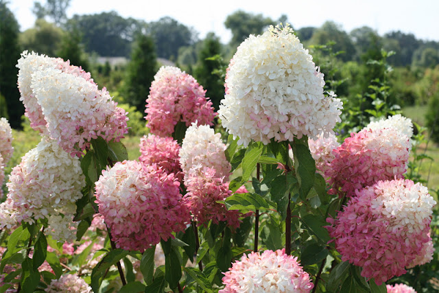 Zinfin Doll Hydrangea paniculata from Proven Winners