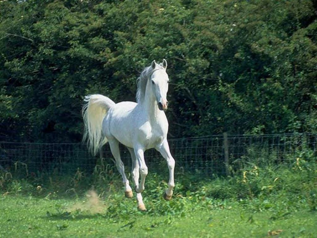 All New Wallpaper Beautiful White Horse