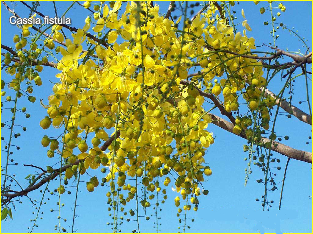 Wallpaper: Health Benefits of Cassia Fistula