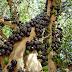 Amazing Brazilian Grape Tree : Jabuticaba, Guaperu, Guapuru, Hivapuru, Ybapuru
