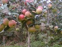 bibit pohon apel, buah apel