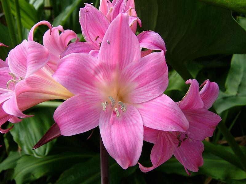 Arte y jardiner a azucena belladona familia amaryllidaceae for Azucena plantas jardin