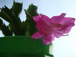 Schlumbergera (kaktus bożonarodzeniowy)