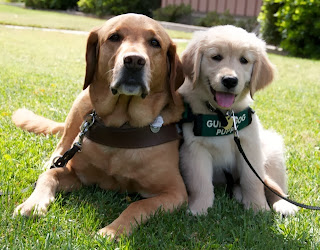 A Yellow Lab guide dog in harness sits next you a young Golden Retriver guide dog puppy wearing a green coat.
