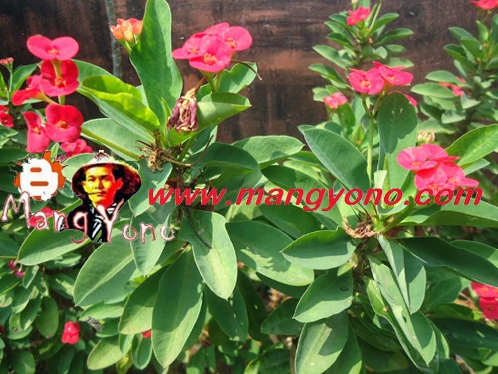 Bunga Euphorbia walau berduri tapi banyak yang suka