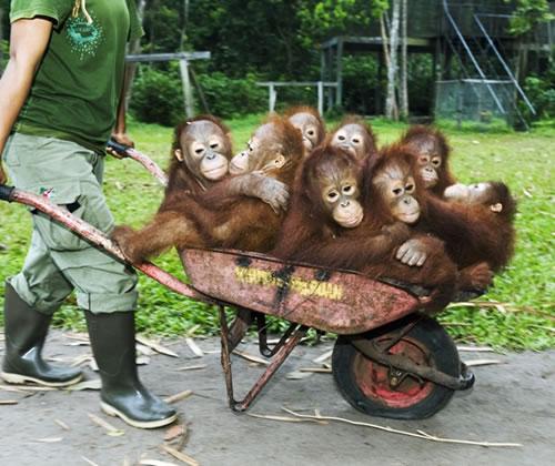 Funny+Orangutan_.jpg