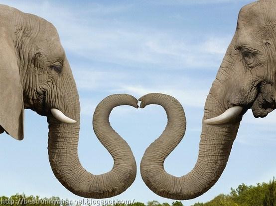 Two elephants heart