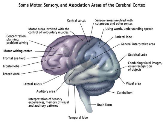 Brain Anatomy8