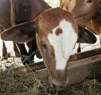 harga sapi qurban kurban kambing 2013 x