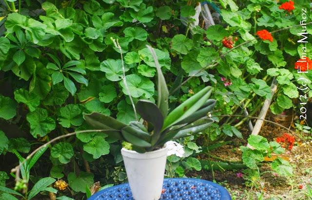 Orquidea miniatura botanica planta