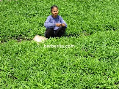 Rahasia Bisnis Budidaya Sayur Kangkung