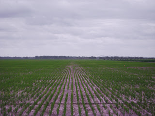 Texas rice 2011