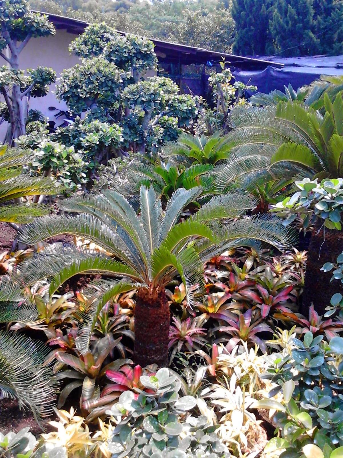 Jual pohon  palm sikas