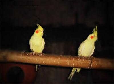 yellow-faced cockatiel pair