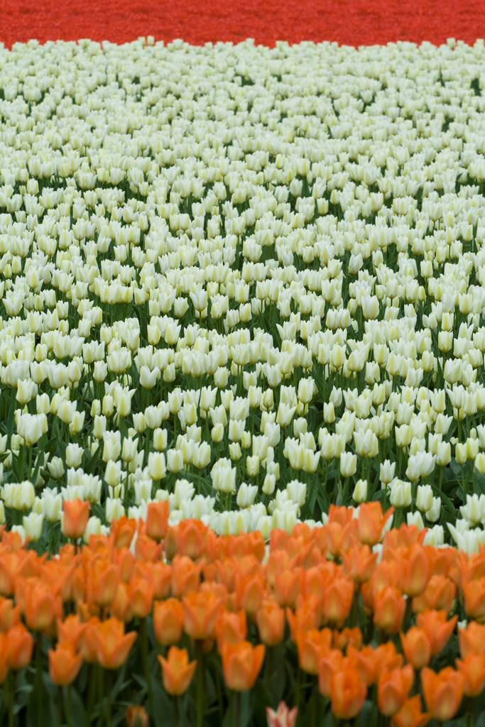 huge field of tulips all colors