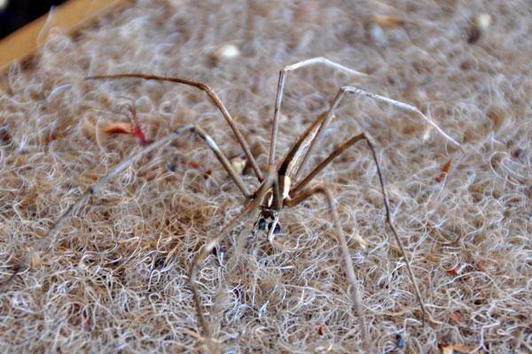 brown twig spider
