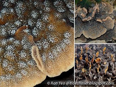 Echinopora spp.