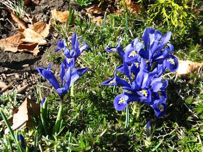 dwarf iris Iris reticulata spring blooms by garden muses: a Toronto gardening blog