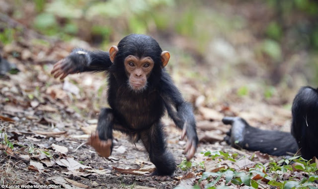 Baby chimp took his first steps, adorable baby chimp, baby chimp photos