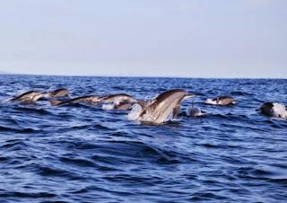 Mari Liburan Lihat Lumba-Lumba di Teluk Kiluan Tanggamus