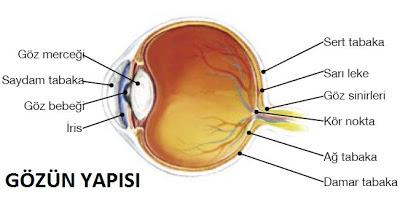 göz, gözün yapısı, gözün görevleri, beş duyu organı göz