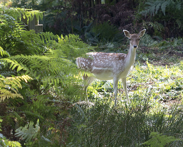Fallow Deer, Dama dama.  Knole Park, 22 September 2012.