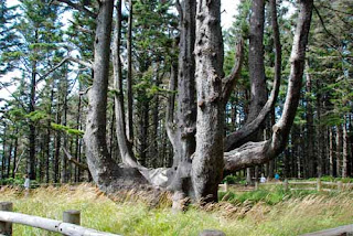 Octopus Tree at Three Cape Loop - Oregon, USA