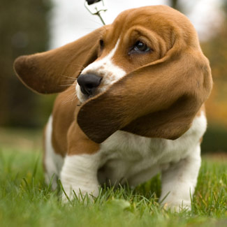 Basset hound dog walking in grass image download free pictures of dog ...
