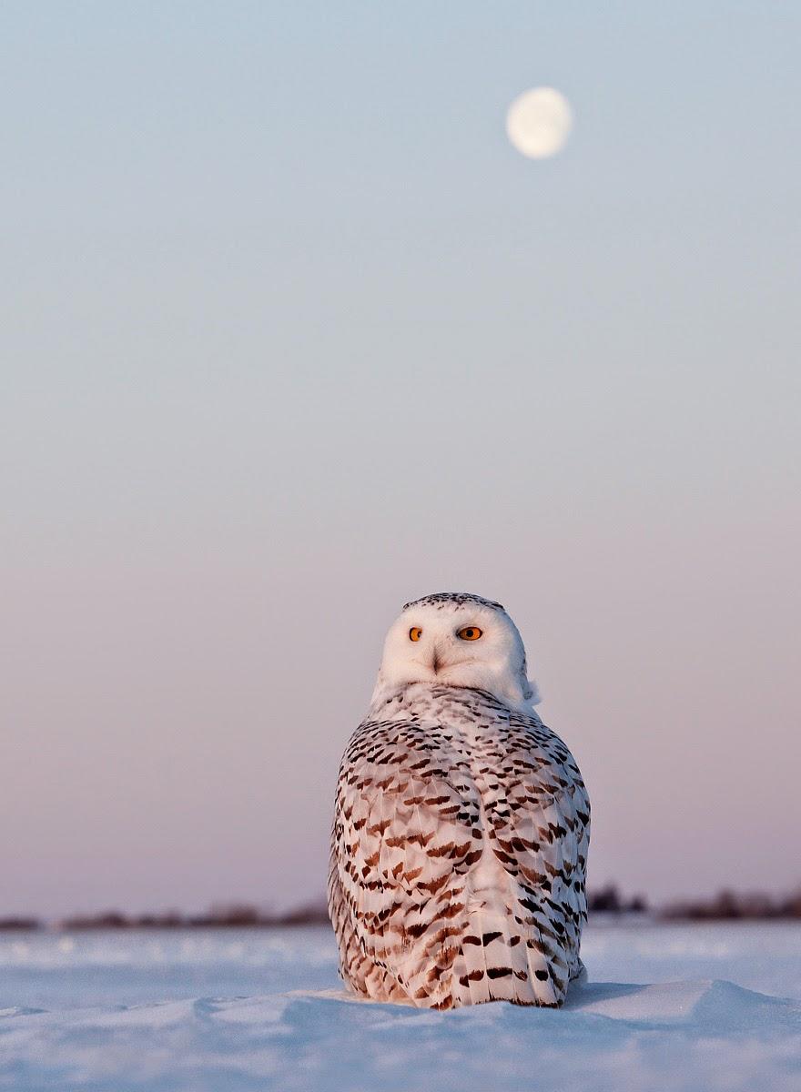 Snowy Owl in Canada, Markus Varesvuo / www.agami.nl