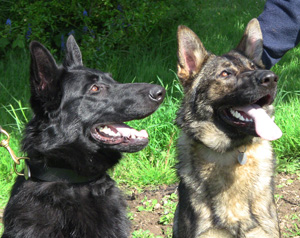 Two german shepherds sat on grass looking up