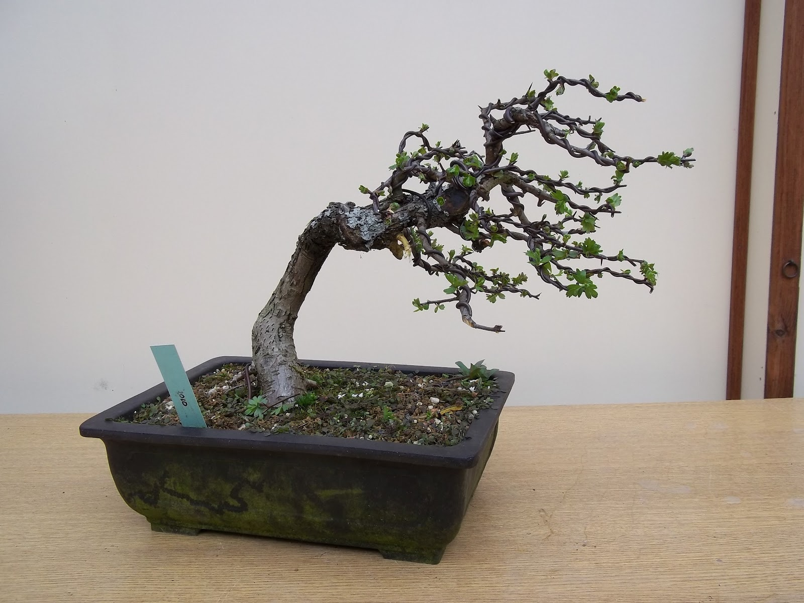 Ronin Bonsai Bonsai Chat At Willowbog