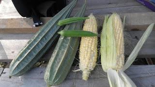 gambar jagung,jagung,jagung sedap,jagung taiwan,cara tanam jagung
