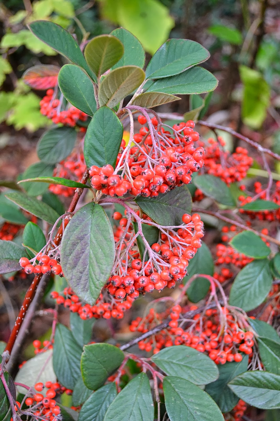 The Outlaw Gardener Cotoneaster Parneyi Lacteus My Favorite Plant