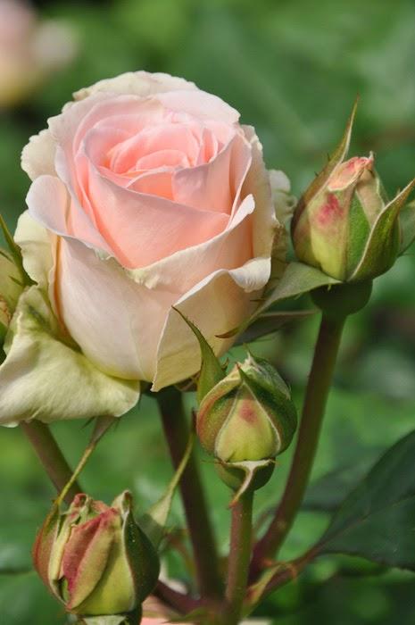 una rosa per te!