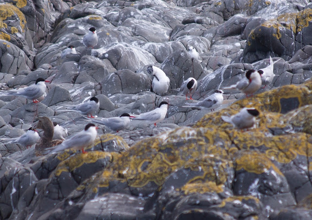 Roseate Tern - Farne Islands, Northumberland