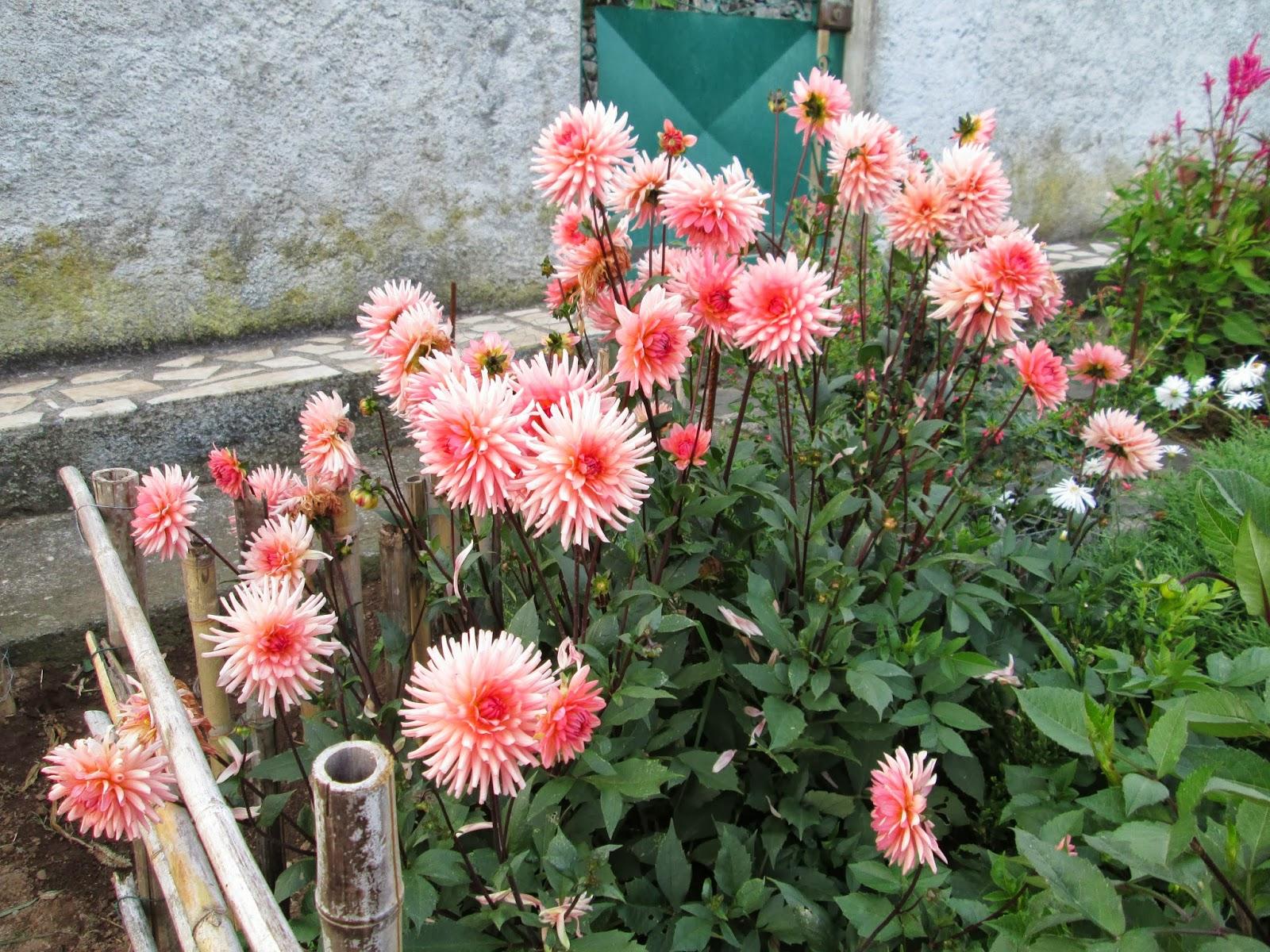 flores jardim sardinheiras ? Doitri.com