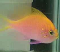 pink sunburst fathead anthias