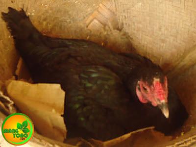 Induk ayam sedang mengerami telur ayam dan telur bebek