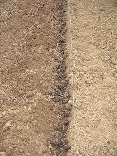 trench manured for potatoes