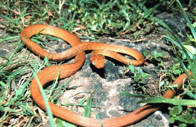 Brown tree snake Boiga irregularis USGS Photography